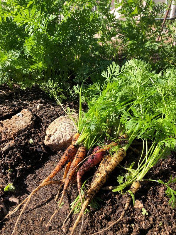 Carrots from the Sunrise Garden